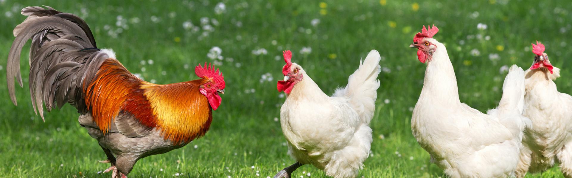 AniForte® - Ook voor kippen & Co.